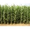 最新甜高粱牧草种子 常年销售批发